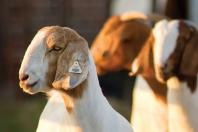 Meat goat bootcamp offers producers hands-on training